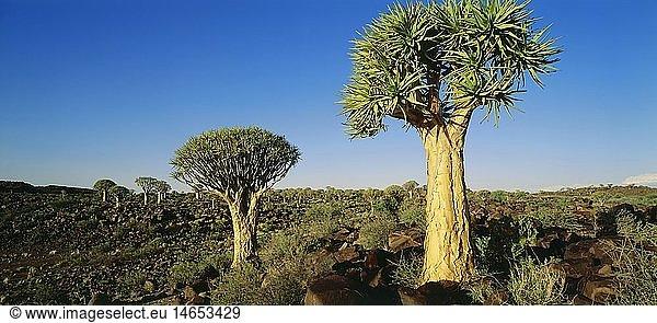 Ü Geografie,  Namibia,  Landschaften,  Köcherbaumwald bei Keetmanshoop,  Südwestafrika