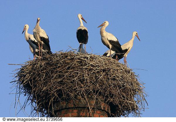 'Weißstörche (Ciconia ciconia),  die sich auf einem Nest in Č