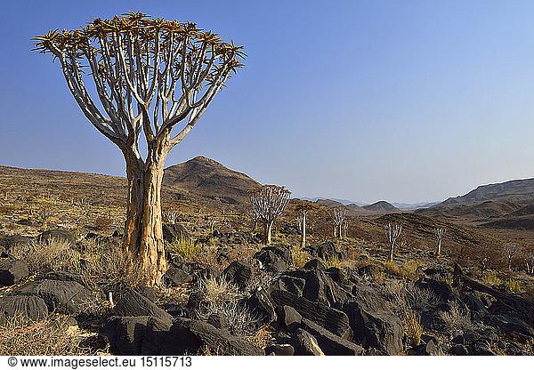 Afrika,  Namibia,  Namib Naukluft-Gebirge,  Namib-Wüste,  Köcherbaum,  Aloe-Dichotom