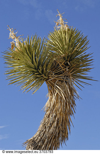 Ast einer Joshua Palmlilie,  Joshua Tree (Yucca brevifolia),  Yoshua Tree Nationalpark,  Palm Desert,  Südkalifornien,  USA