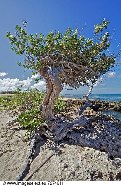 Baum , Küste , Aruba