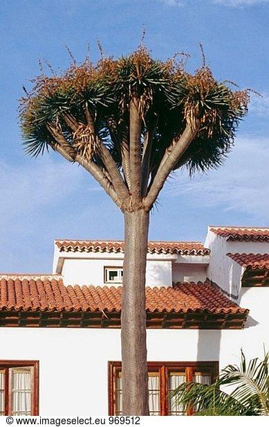 Baum, Kanaren, Kanarische Inseln, Drache, Spanien, Teneriffa