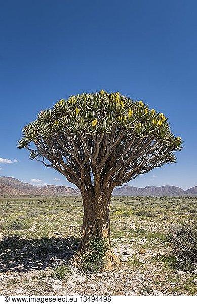 Blühender Köcherbaum (Aloe dichotoma),  Solitaire,  Khomas-Region,  Namibia,  Afrika