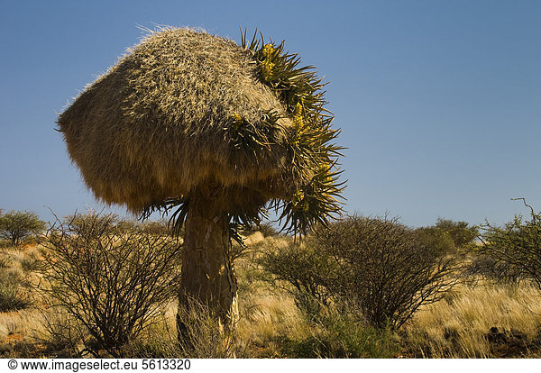 Blühender Köcherbaum (Aloe dichotoma) mit Webernest,  Kenhardt,  Nordkap,  Südafrika,  Afrika