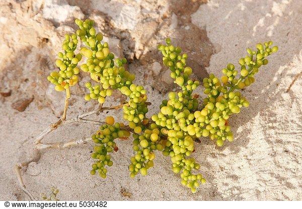 Botanik , Jemen