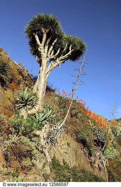 Drachenbaum,  Anaga-Gebirge,  Teneriffa,  2007.