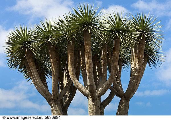 Drachenbaum (Dracaena draco),  Baumkrone,  Teneriffa,  Kanaren,  Spanien,  Europa