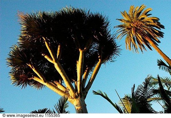 Drago und Palm Tree. Gran Canaria. Kanarischen Inseln. Spanien