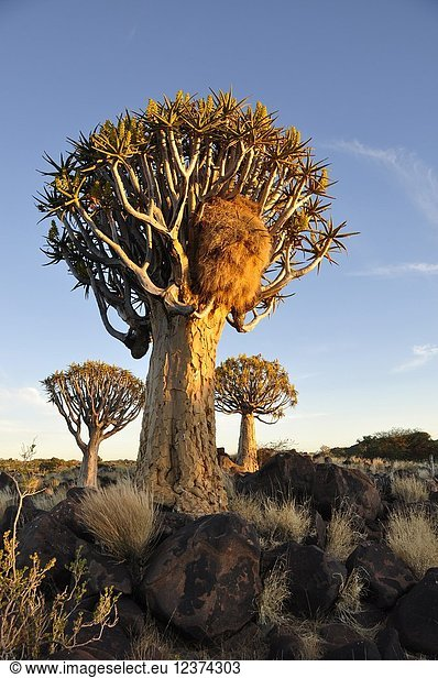 Endemic Quiver-tree forest in Namibia.