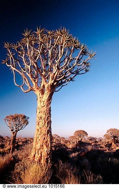 Erbeben Sie Bäume,  (Aloe Dichotoma). Keetmanshoop. Namibia.