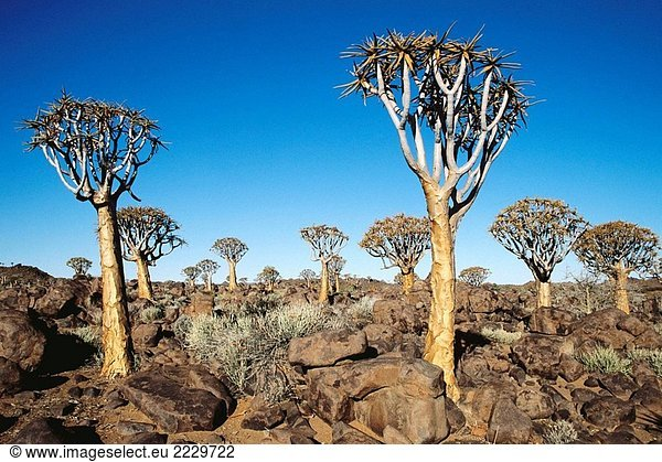 Erbeben Sie Baum (Aloe Dichotoma) in der Nähe von Keetmanshoop. Namibia