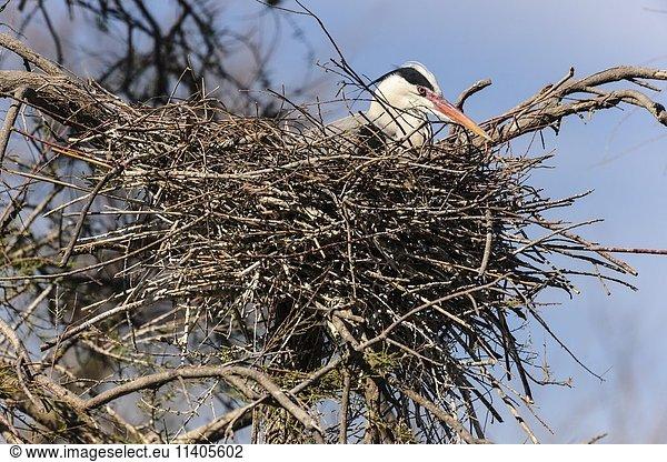 Graureiher (Ardea cinerea) im Nest,  Stes Maries de la mer,  Camargue,  Südfrankreich,  Frankreich,  Europa