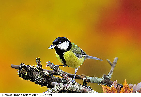Great Tit posed with a seed in the beak France