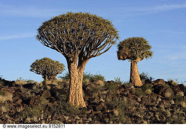 Köcherbäume (Aloe dichotoma),  Köcherbaumwald