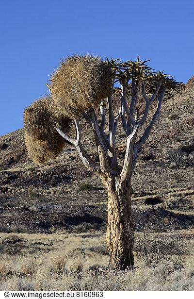 Köcherbaum (Aloe dichotoma),  mit Nestern der Siedelweber (Philetairus socius)
