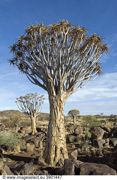 Köcherbaum (Aloe dichotoma) bei Keetmanshoop in Namibia,  Afrika