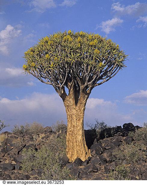 Köcherbaum bei Keetmanshoop - Namibia