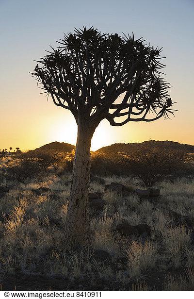 Köcherbaum oder Kokerbaum (Aloe dichotoma),  bei Keetmanshoop,  Namibia