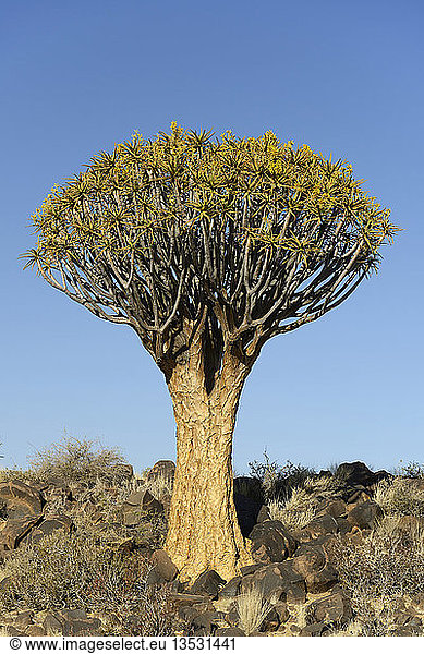 Köcherbaum oder Kokerboom (Aloe dichotoma),  Keetmanshoop,  Karas Region,  Namibia,  Afrika