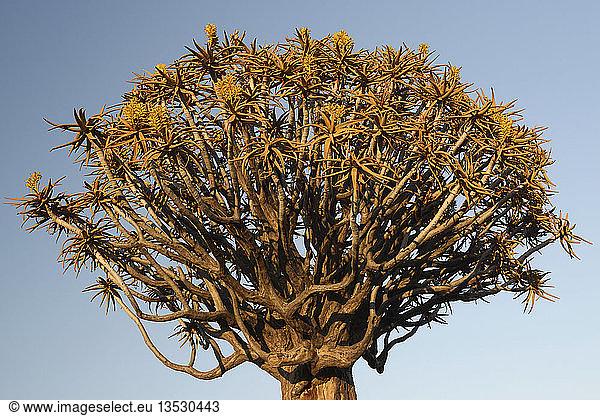 Köcherbaum oder Kokerboom (Aloe dichotoma) im frühen Morgenlicht,  Keetmanshoop,  Karas Region,  Namibia,  Afrika