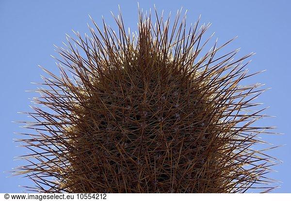 Kaktus (Echinopsis atacamensis),  Detail,  Isla Incahuasi oder Isla del pescado,  Salar de Uyuni,  Altiplano,  Bolivien,  Südamerika