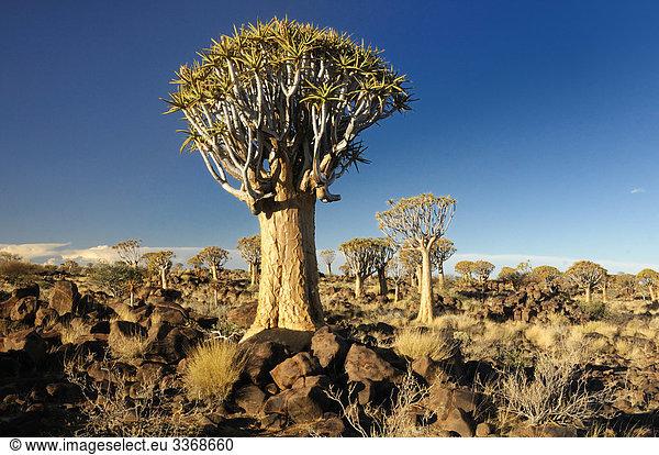 Kocherbaum,  Baum,  Köcherbaum,  Quiver Tree Restcamp,  Keetmanshoop,  Karas Region,  Namibia,  Afrika,  Reisen,  Natur