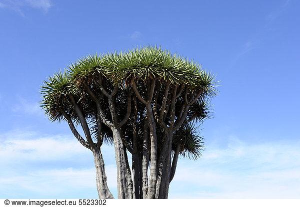 Krone eines kanarischen Drachenbaums (Dracaena draco),  El Tablado,  La Palma,  Kanaren,  Kanarische Inseln,  Spanien,  Europa,  ÖffentlicherGrund