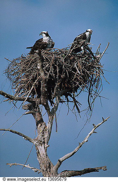 Mated pair of ospreys (Pandion haliaetus) at their nest in Florida.