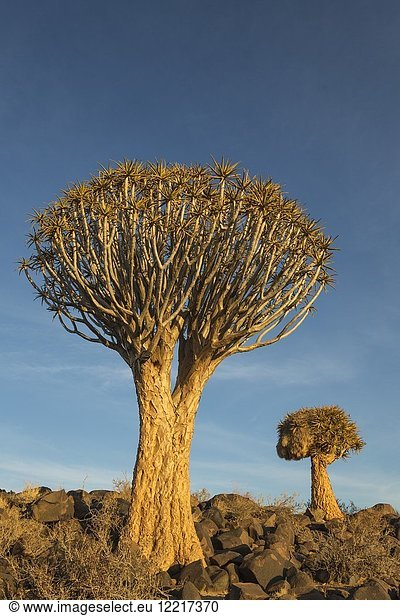 Quiver tree (Aloe dichotoma). Formerly the hollowed out branches of these trees were used as quivers by the Bushmen. Quiver Tree forest near Keetmanshoop,  Namibia.
