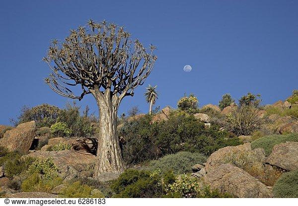 Südliches Afrika,  Südafrika , Springbock,  Antidorcas marsupialis , nahe , Köcherbaum,  Aloe Dichotoma , Aloe, Aloe Vera , Baum , Mond , Afrika , voll
