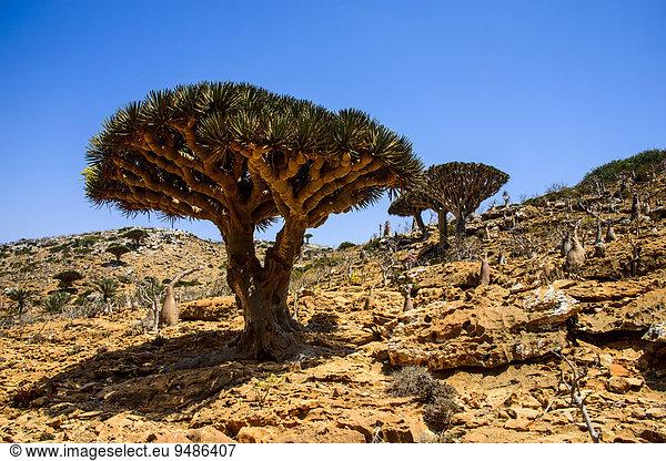 Sokotra Drachenbäume oder Drachenblutbäume (Dracaena cinnabari),  Schutzgebiet Homhil,  Insel Sokotra,  Jemen,  Asien