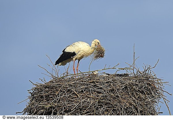 Weißstorch (Ciconia ciconia),  bringt Nistmaterial zum Nest,  Storchendorf Linum,  Brandenburg,  Deutschland,  Europa,  PublicGround,  Europa