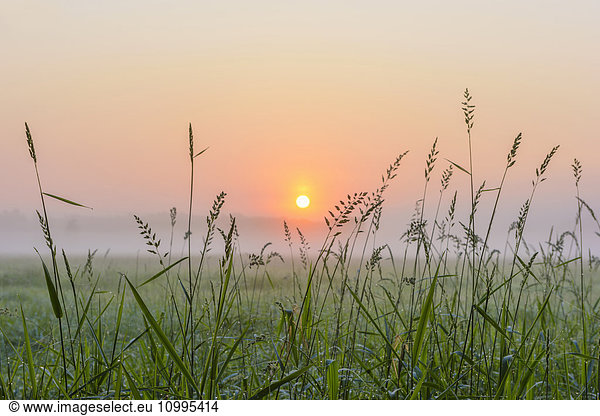 Blades of Grass in Morning Mist at Sunrise,  Hesse,  Germany