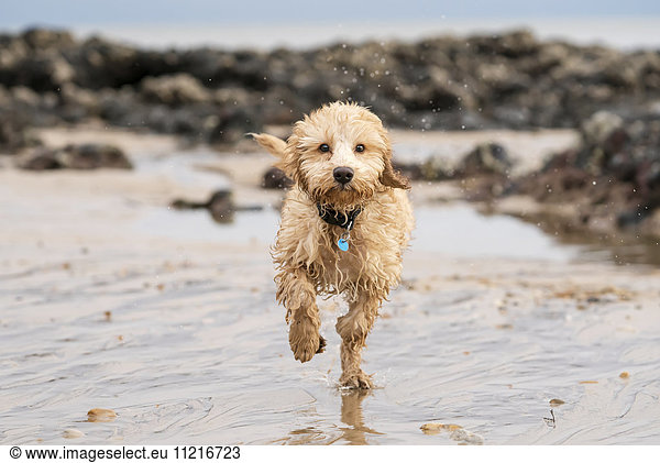 'A wet cockapoo runs through the water on a beach; South Shields,  Tyne and Wear,  England'