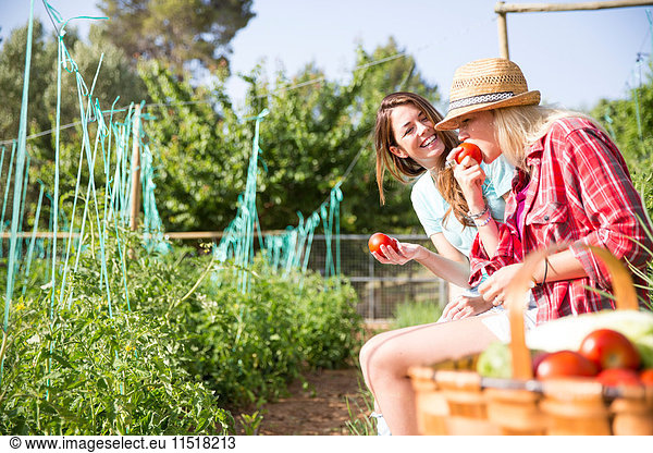 Two young female gardeners eating tomatoes on organic farm